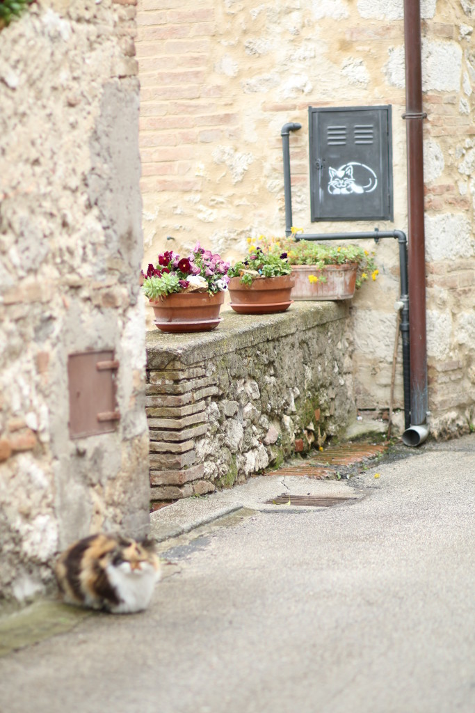 Italian gato, Umbrian countryside