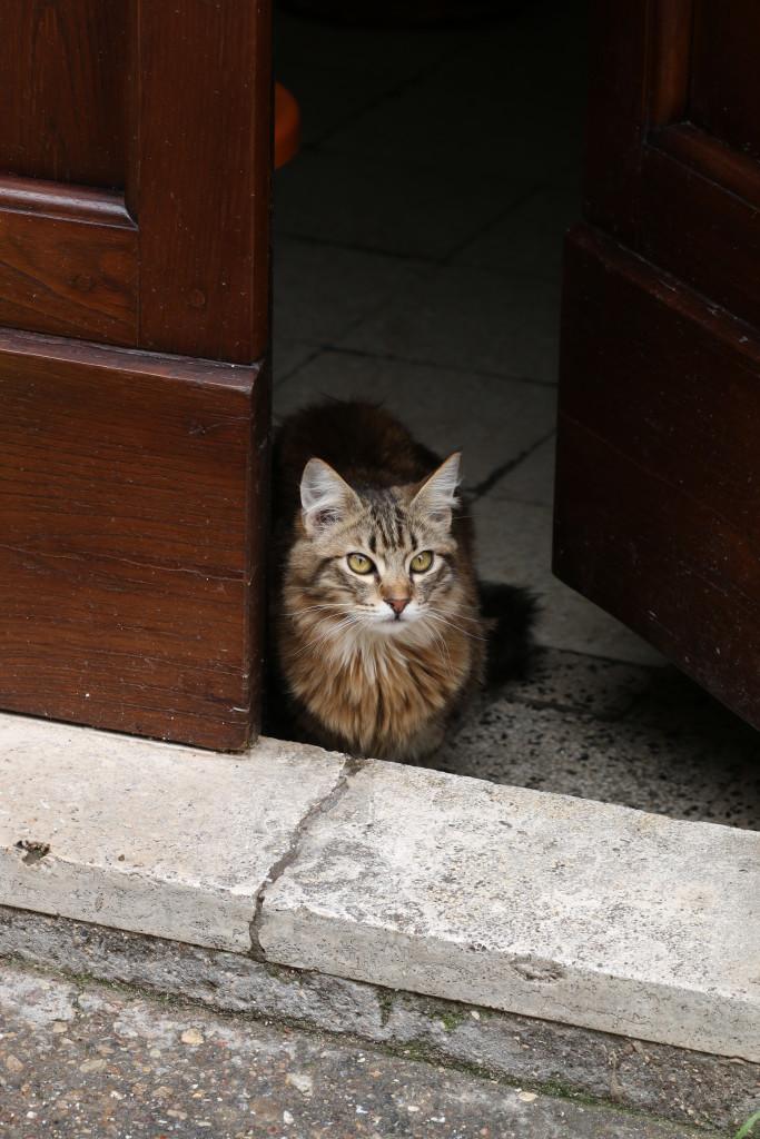 Italian gato, cat, Umbria, Italy, photography