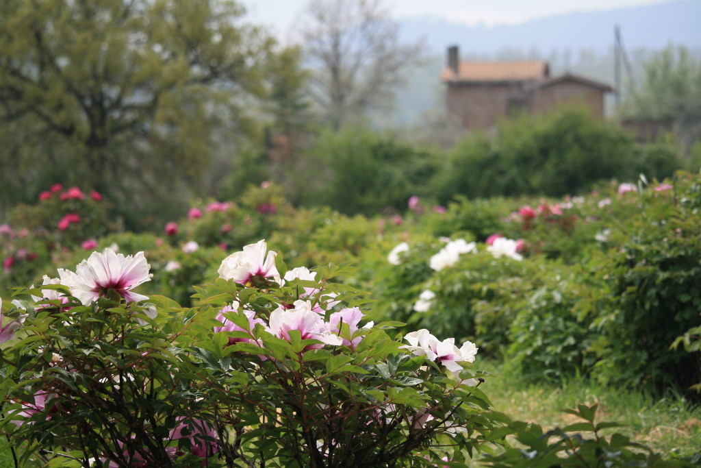peony farm Viterbo, Italy, Moutan Botanical Center, peony photography, Italian countryside in spring