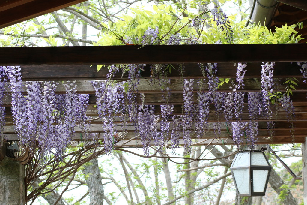 wisteria in Italy, spring, photography of wisteria vines, Relais Villa Rossi Danielli Italian countryside estate Maria Renata