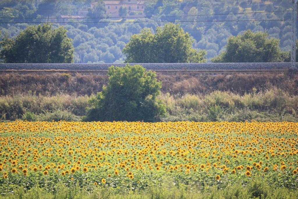 Italy fields of sunflowers Lazio