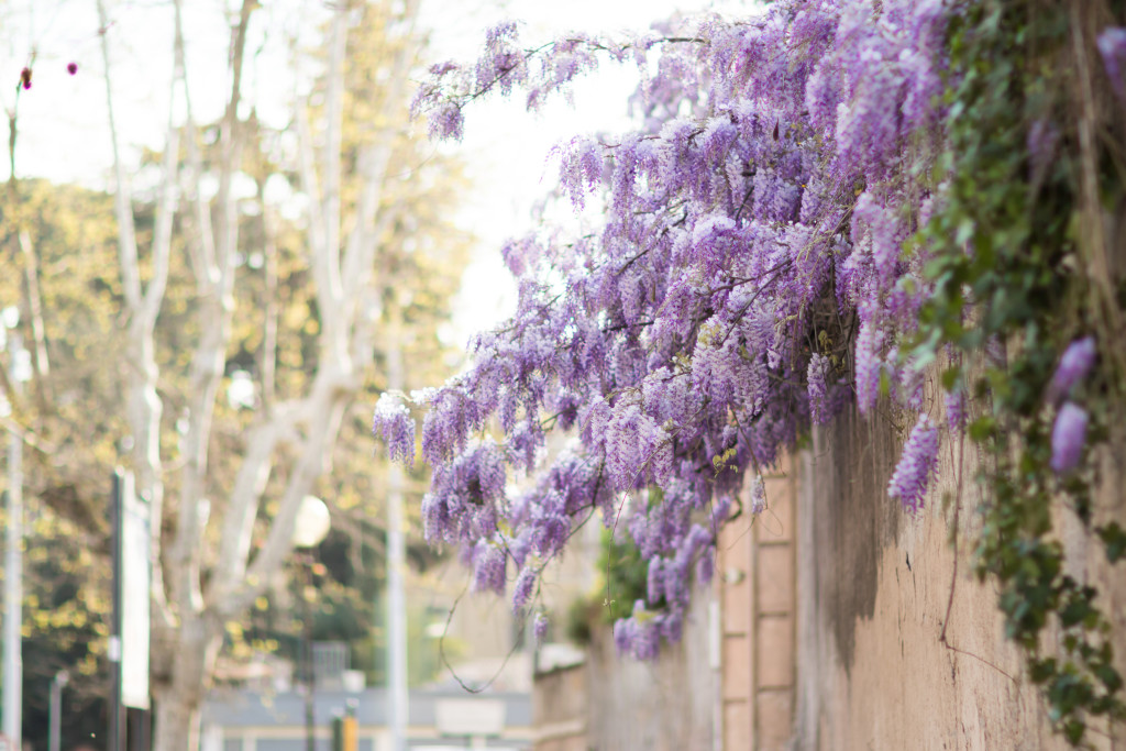 wisteria blooms, spring in Rome Italy, wisteria, travel blogger