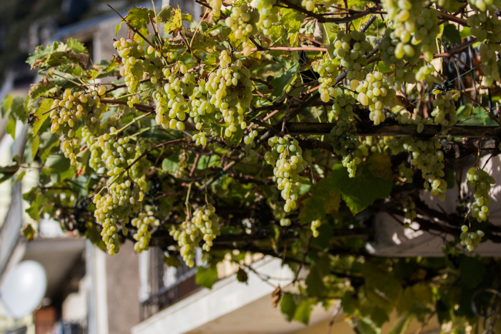 grapes-growing-on-homes-in-italy